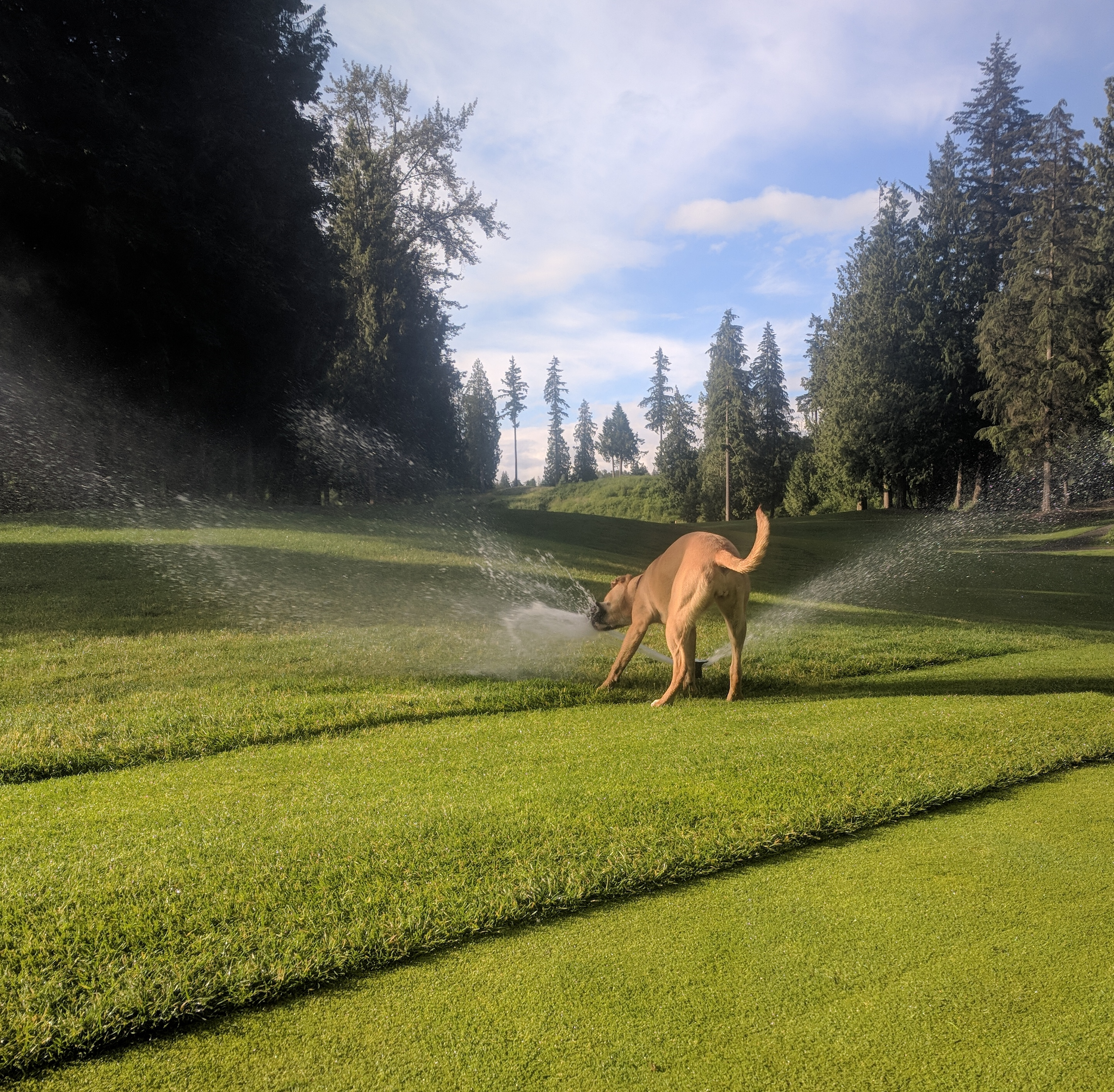 Dog playing in a sprinkler on Redwoods golf course